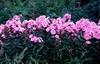 Phlox paniculata