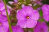 Flowers of P. pilosa