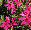 Phlox subulata 'Red Wing'