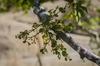 Phoradendron leucarpum