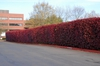Photinia x fraseri Form