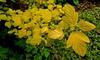 """Physocarpus opulifolius 'Dart's Gold"""""""