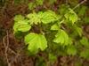 Physocarpus opulifolius 'SMNPOTWG' Tiny Wine® Gold