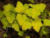 Physocarpus opulifolius 'Podaras 3' Lemon Candy