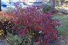 Fall shrub form