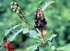 Phytolacca americana, P. rigida