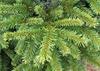 Picea abies 'Pumila'