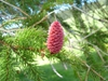 Picea Abies female cone