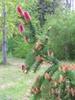 Picea abies flowers