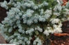 "Picea Pungens ""Compacta"""