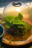 Pilea involucrata as a terrarium plant