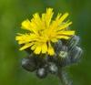 Pilosella caespitosa subsp. caespitosa