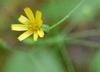 Pilosella paniculata - Hieracium paniculatum