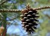 Female cone