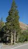 Pinus contorta var latifolia