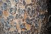 Bark with plates (Larimer County, CO)-Early Fall