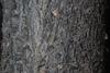 Bark close-up (Larimer County, CO)-Early Fall
