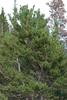 Tree form (Larimer County, CO)-Early Fall