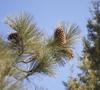 Needles and cones