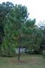 Pinus palustris