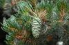 Pinus parviflora 'Glauca' Cone