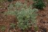 Pittosporum heterophyllum Marginata fm 052209 SFA TX
