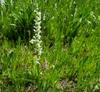 White Bog Ochid form
