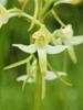 P. bifolia flower
