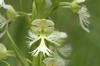 White Fringe Orchid flower