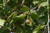 Platanus occidentalis Fruit and Leaves