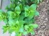 emerging plant, spring, Durham County, NC