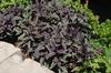 Plectranthus argentus