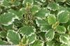 Plectranthus forsteri 'Marginatus'