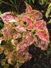Plectranthus scutellarioides 'Pinata' summer