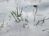Poa annua in snow
