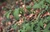 Polygonatum spp.