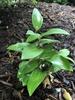 P. odoratum 'Goldilocks', late spring, Wake County, NC