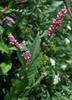Flowers of P. persicaria