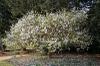 Poncirus trifolia
