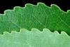Pale underside of leaf and sinuate leaf margins (Fort Collins, C