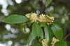 Carolina Cherry Laurel Flowers