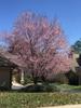 Prunus cerasifera 'Thundercloud' form