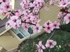 Prunus cerasifera 'Thundercloud' flower