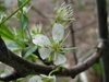 Prunus domestica 'Stanley'