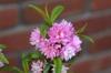 'Plena Rosea' Flower
