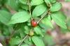 Prunus jacquemontii