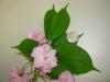'Kwanzan' Flower and Leaf Detail