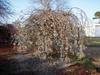Prunus subhirtella 'Snow Fountain' Form