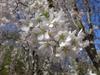 Prunus subhirtella x yedoensis