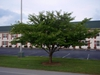 Prunus x yedoensis Form